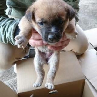 3月28日産まれMIX犬♀5月12日ぐらいまでお迎えにきていただけ...