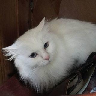 キレイな白の長毛さん