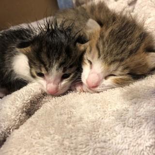 生後一か月以内の猫の里親募集