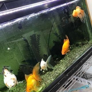 金魚五匹います。
