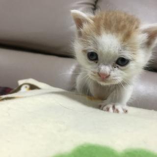 白茶の仔猫の里親募集します!