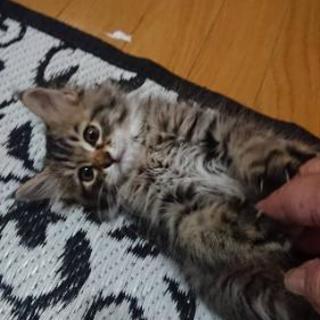 2ヶ月くらいの雑種猫ちゃんです!