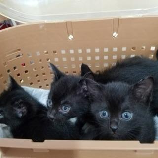 生後5週の黒赤ちゃん猫