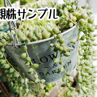 グリーンネックレス 多肉植物 観葉植物 鉢植え