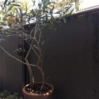オリーブの木(2本)