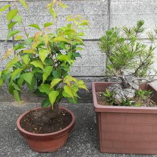 松(竹)梅の鉢植え、盆栽。セットで700円です。