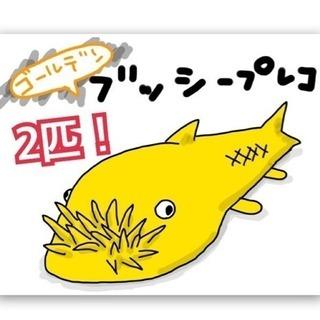ブッシープレコ  稚魚 2匹 ゴールデン  ブルーアイ  熱帯魚 ...