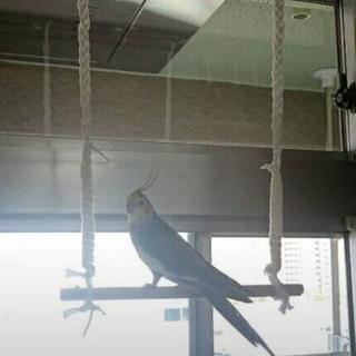 小鳥の里親募集