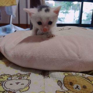 白にぶちあり猫 子猫