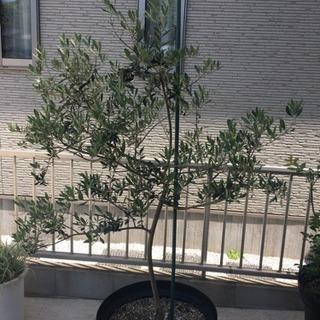 オリーブの木 2本セット