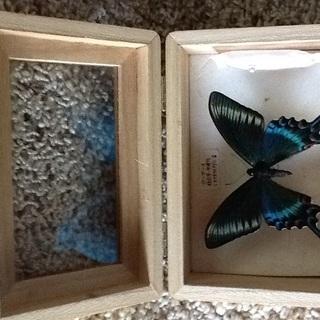 1羽ー蝶の標本