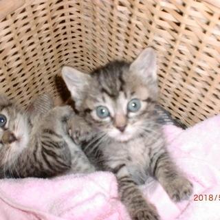 甘えん坊赤ちゃん猫 推定2ヵ月★向かって右側の子です★