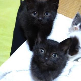 子猫(黒)2匹の里親様募集