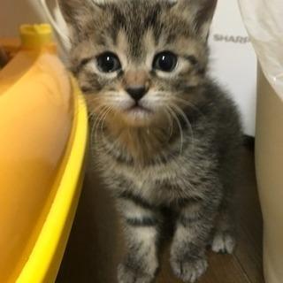 キジトラ柄 生後1ヶ月 子猫
