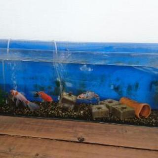 金魚3匹の画像