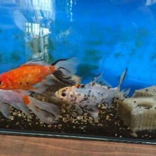 金魚3匹 - 大阪市