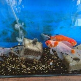 金魚3匹 - その他