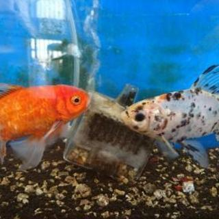 金魚3匹 − 大阪府