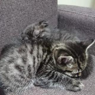 1ヶ月ちょっとの子猫です