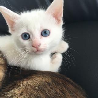 白猫ちゃんの里親さん募集!