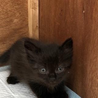 生後約一ヶ月の仔猫ちゃん里親募集