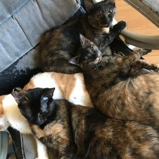 サビ柄の猫2匹  白茶1匹