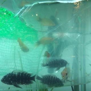 ★急募★【麻布十番/武蔵小山】熱帯魚里親