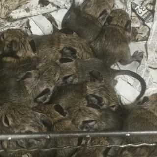 デグーが13匹も生まれました