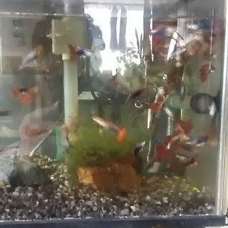 熱帯魚 グッピー