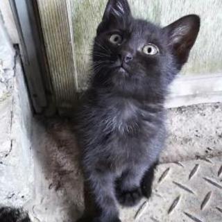 里親募集!生後2ヶ月の黒猫です