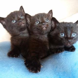 生後1ヶ月の子猫たちです。里親募集...