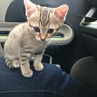 生後2ヶ月ぐらいの子猫です