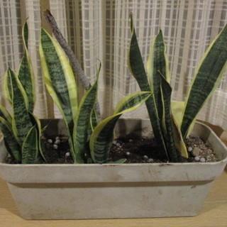 観葉植物 サンセベリア 3株 プランター付き