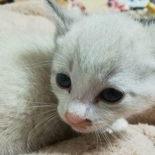 シャム系の白猫君です