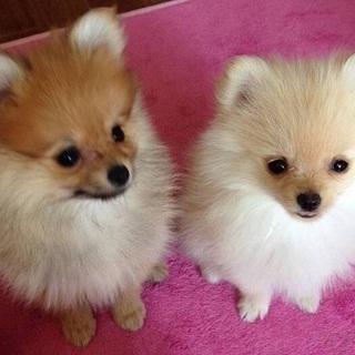 双子のポメラニアンです