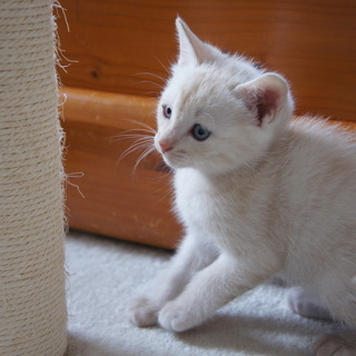 4月12日生まれの可愛い子猫差し上げます