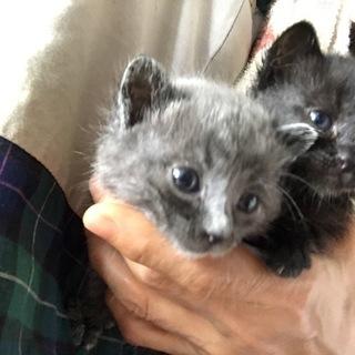 子猫【黒猫(メス)とグレー(オス)】の里親募集です。
