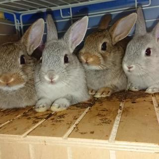ミニウサギの里親募集中
