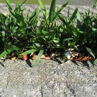 竹の苗 竹の子供 1株 追加も可能