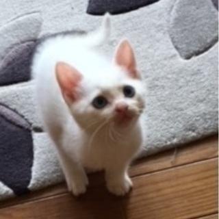 生まれて2か月過ぎの、人懐っこい男の子、白猫です。