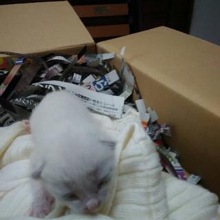 真っ白な生まれたての子猫