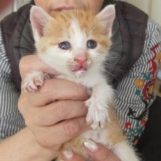 可愛い子猫もらってください。最後まで責任をもって可愛がってくださ...