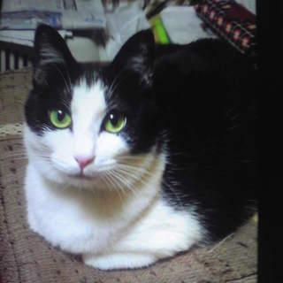 メス猫、白黒、三歳