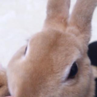うさぎ(ミニレッキス) 2歳