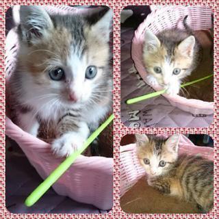 生後1ヶ月 メス 仔猫