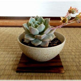 【多肉植物】陶器鉢(うす茶色)入り『白牡丹(大)』 *:゚+。....