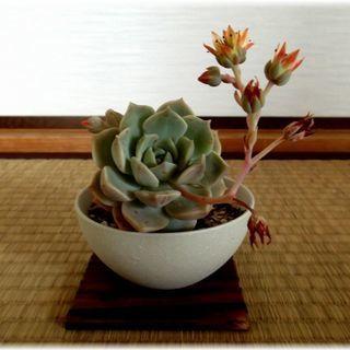【多肉植物】陶器鉢(グレー)入り『白牡丹(大)』 *:゚+。.☆...