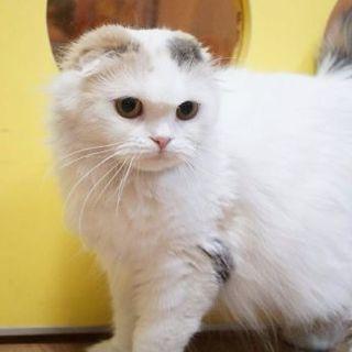 ブリーダーさん引退猫ちゃんスコティッシュ