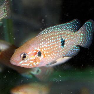 熱帯魚レッドジュエリー