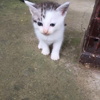 生後1ヶ月半位の子猫の里親様募集